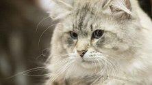 В Кишинев, Молдова се проведе международно изложение на котки, в което участваха повече от 100 породисти котки от Молдова, Украйна, Русия и Румъния