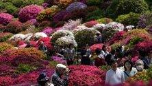 Красиви градини от азалии в храм Незу в Токио, Япония. Повече от 3 хиляди азалови растения от 100 различни вида обагрят гледката на храма всяка година.