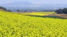 Снимка на поле от растенията рапица в Южна Кореа. Растението се отглежда поради богатите си на олио семена.
