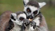Млади лемури, родени преди една седмица, се наслаждават на живота в зоопарка на Вроцлав, Полша.