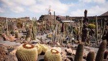 Градината на Кактуса, проектирана от испанския художник Сезар Манрик (1919-1992) в община Тегисе, остров Лансароте, Канарските острови, Испания.