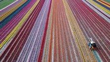 Кадър на поле от лалета в Гревенброх, Германия.