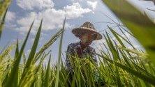 Мианмарски работник се грижи за посевите от ориз в покрайнините на Найпитау, Мианмар.