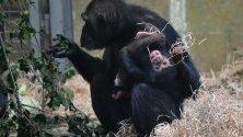 Шимпанзето Хана държи бебето си Надежда в зоопарка Монарто близо до Аделаида, Австралия.