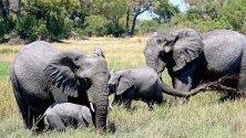 Група слонове в района Кведи на делтата Окаванго, Ботсвана. Ботсвана е премахнала забраната за лова на слонове и според съобщенията в медиите притежава най-голямата популация на слонове в света.