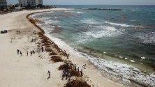 Десетки хора почистват морските водорасли от саргас – морска трева, след като голямо количество бяха измити на плажовете в Канкун, Мексико.