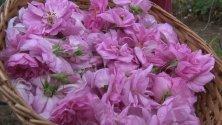 С песни започна розобера в казанлъшкото село Розово. Това е и началото на празника на розата в долината.