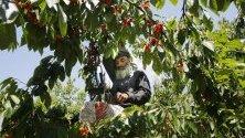 Гражданин на Кашмир бере череши от дърво в овощната градина в покрайнините на Шринагар, лятната столица на индийския Кашмир.
