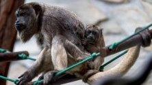 Триседмична черна маймуна (Alouatta caraya) с майка си в зоопарка във Вроцлав, Полша. Тези животни са вид, застрашен от изчезване.
