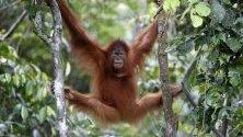 Суматрански орангутан виси от дърво, след като е пуснат от клетка в дивата природа.
