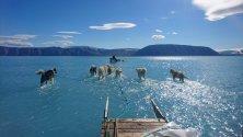 Kучета, теглят шейни през разтопен лед по време на експедиция в северозападната част на Гренландия.
