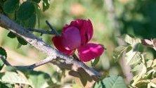 Дамаска роза разцъфтява на полето в село al-Marah, Сирия. Най-висококачествената маслодайна роза в света е внесена от Дамаск, Сирия. От там идва и наименованието й – Дамаска роза.