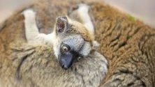 Едномесечен кафяв лемур, намерен на остров Майот ,се е  залепил за майка си в зоопарка Состо в Ниредхаза, североизточна Унгария.