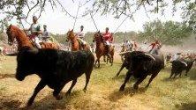 Бикове тичат по време на традиционният  Jueves La Saca в Сория, Испания.
