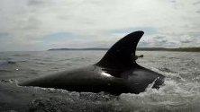 Косатка плува във водите на Охотско море,Русия.