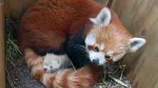 Червена панда  с новороденото си в Хале, Германия.
