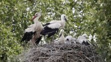 Щъркели стоят в гнездото си с малките си в Ленинградска област, Русия.