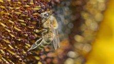 Пчела кацнала върху слънчоглед, Синшайм, Германия.