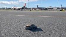 Костенурка на пистата на Летище Голд Коуст, Куинсланд, Австралия.