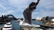 Чайка кацнала на моста на Сидни Харбър, Австралия. Според съобщения в медиите, изследователи са открили, че австралийските чайки са съдържали на патогенни бактерии, устойчиви на антибиотици карбапенем, които се използват като последно средство за лечение на бактериални инфекции.