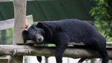 Лунна мечка се излежава в спасителния център във Виетнам, в националния парк Там Дао, Виетнам.