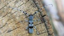 Rosalia alpina на дървесен ствол близо до Сиаторска Буковина, Словакия. Rosalia longicorn е насекомото, класифицирано като защитен вид в Унгария.