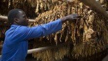 Организиране на тютюневи листа по стелажи в  Зимбабве.