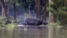 """Носорог минава през наводнен участък, за да намери подслон в резерват """"Побитора"""" в щата Асам, Индия."""