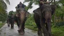 Слонове са преместени след наводнения на безопасно място в  щата Асам, Индия.