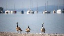 Гъски стоят на брега на езерото  Амерзе, Бавария, Германия.