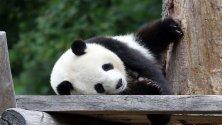 Мъжка панда лежи в заграждението си в Берлинската зоологическа градина,  Берлин, Германия.