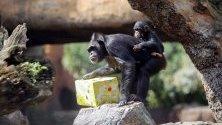 Едногодишно шимпанзе играе по време на първият си рожден ден в  зоопарк Bioparc de Valencia, във Валенсия, Испания.