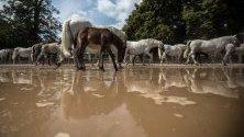 Стадо коне се прибират към конюшните си в Националната ферма за коне в Кладруби на Лабем, Чехия. Това е втората най-стара в света конеразвъдна ферма в Кладруби на Лебем.