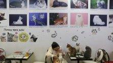 Котешко тематично кафене в Пекин, Китай. Кафенето става все по-популярно сред китайските млади хора, които искат да се  насладят на свободното си време.