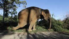 Ида, 60-годишен опитомен слон, ранен смъртоносно в крака по време на битка с див слон, тя  е била използвана в програма за отблъскване на дивите слонове от плантации и селища, Ачех, Индонезия.
