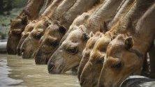 Стадо камили пие вода, северна Кения.