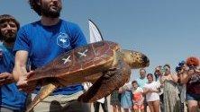 """Морска костенурка по време на представянето на кампания, озаглавена """"Костенурки в Средиземно море"""" на плаж в Ел Салер, във Валенсия, Испания."""