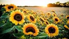 Слънчогледи на полето в Гелдерн, Германия.