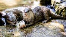 Видри в Амерсфортски животински парк облизват освежаващо замразено ястие заради постоянната топлина в Амерсфорт, Холандия.