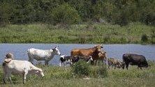 Говеда пасат до езерo близо до Салфър Спрингс, Тексас. Тексас се отличава с перфектни условия за отглеждане на месодайни породи говеда и има традиции, които се предават през поколенията.