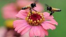 Пчели събират нектар от цвете в градина в Джаму и Кашмир, Индия.