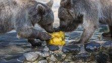 Кафяви мечки ядат плодове, покрити с лед, в заграденото им помещение по време на горещ летен ден в зоопаркът Servion, в Servion,Швейцария.