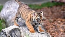 Нелсън, осемседмично тигърче е показан по време  на Международния ден на тигъра в Австралийския зоопарк в Беерва, Австралия.