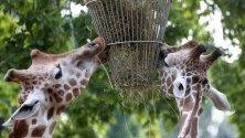 Жирафи се хранят  в Зоологическата градина-  Берлин в Берлин, Германия. На 01 август 2019 г. зоопаркът ще отбележи 175-та си годишнина.