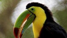 Тукан токо (Ramphastos toco) е вид птица от семейство Туканови. Тукановите са любопитни и интелигентни. Събират се на шумни ята по върховете на дърветата на тропическите гори в Централна и Южна Америка.