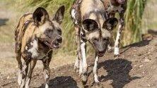 Три от седемте африкански диви кучета (Lycaon picus), пристигнали от Чехия, се виждат по време на въвеждането им в зоопарк Xantus Janos, Унгария.