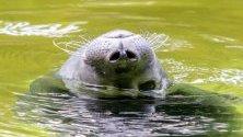 Тюлен плува в заграждението си в зоопарк, Берлин, Германия.