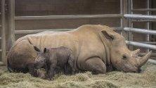 """Бебе носорог и майка му в  Сафари парк  """"Сан Диего""""  в Калифорния, САЩ."""