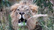 Мъжки азиатски лъв в зоопарк в Лондон, Великобритания.