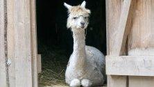 Алпака (Vicugna pacos) в парк за животни във Вормс, Германия. Алпаката се цени и развъжда заради качествата на своята вълна, която е по-лека от овчата и съдържа 24 естествени оттенъка.